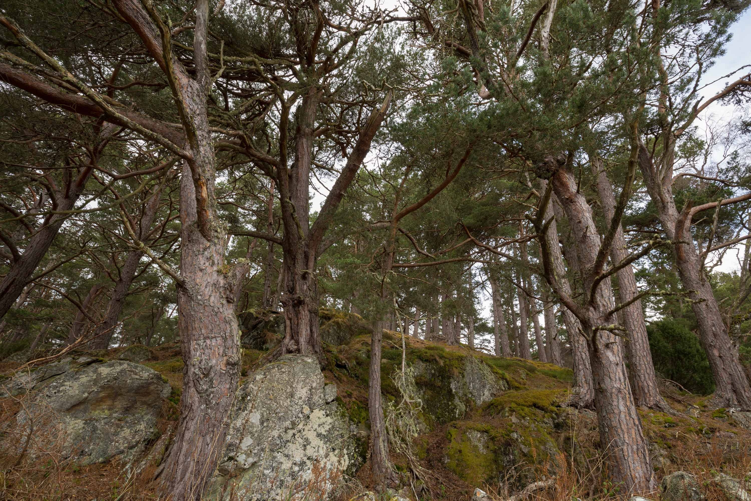 The 'granny' pines of Rothiemurchus
