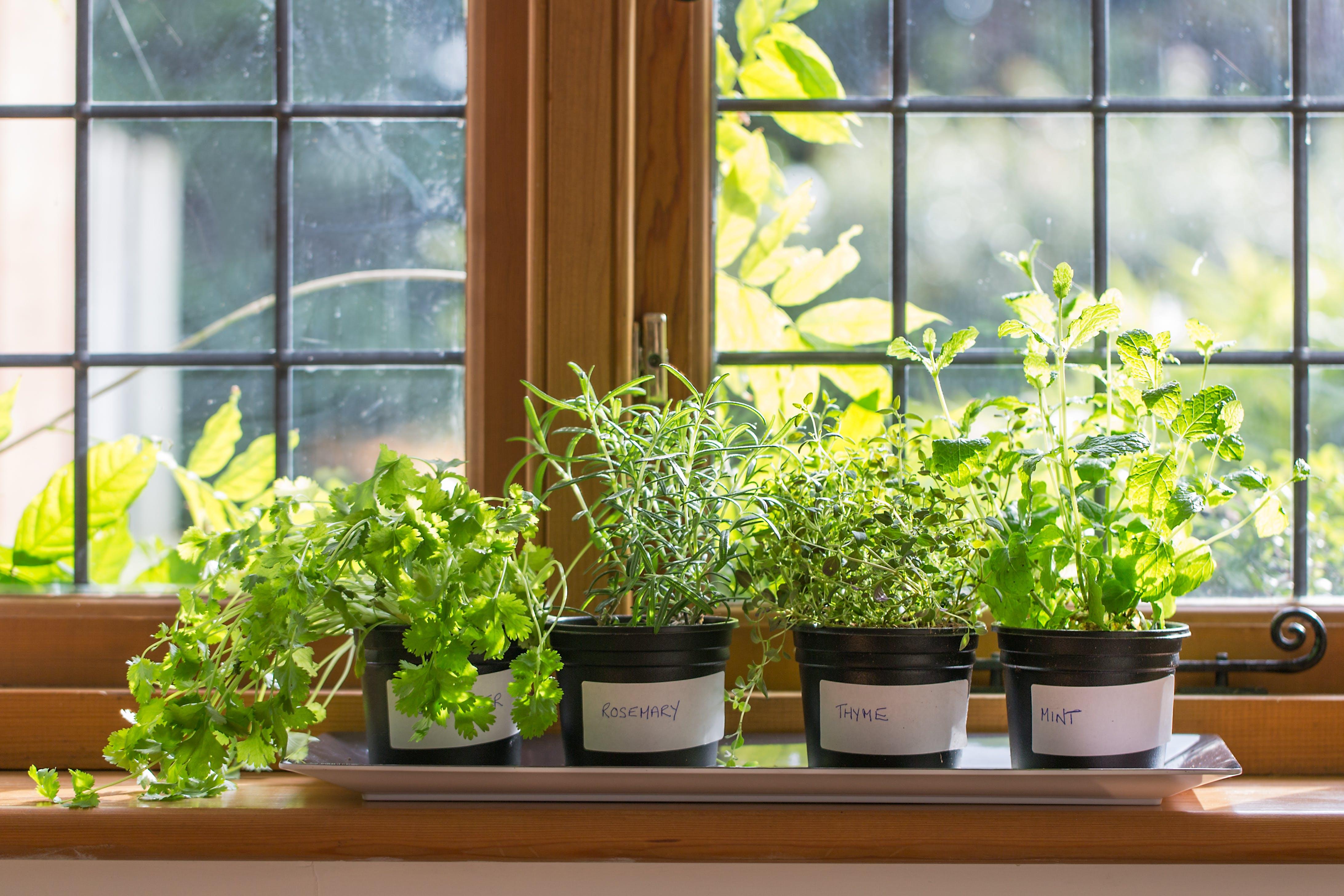 Herbs in pots on window sill