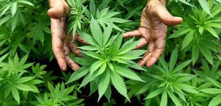 Commercialisation of Cannabis