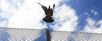 Centre for American Legal Studies Our Successes Image 341x139 - Dove flying over a fence