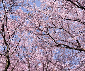 May in Birmingham Image 300x250 - Cherry Blossom Trees